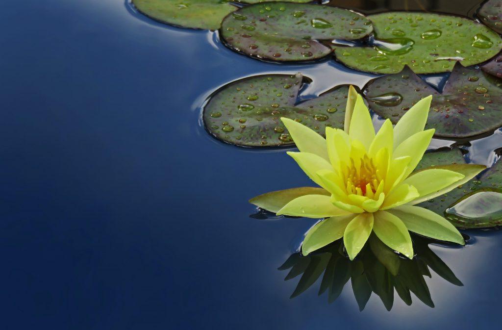 Lotus Flower on a Pond